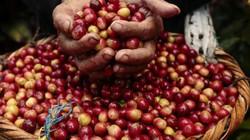 Giá nông sản hôm nay 4/8: Giá tiêu giảm giật mình, cà phê tăng mạnh