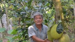Trồng vườn mít Thái bao trái, U70 thu 2 tỷ đồng mỗi năm