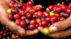 """Giá nông sản hôm nay 7/8: Giá cà phê khởi sắc, giá tiêu vẫn chưa ngừng """"rơi"""""""
