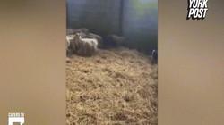 Lợn sổng chuồng, thể hiện kỹ năng khiến chủ kinh ngạc