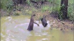 Video: Chó săn hùng hổ truy sát kangaroo, không ngờ bị đối thủ tung đòn hiểm