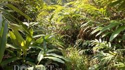 Cả bản đổi đời nhờ trồng loài cây thuốc quý, ra quả dưới gốc