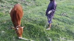 Không chỉ trâu bò, máy gặt, máy bơm ra đồng cũng phải đóng phí