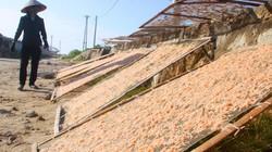Trúng mùa ruốc, ngư dân Hà Tĩnh cầm chắc tiền triệu mỗi ngày