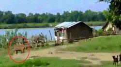 """Ấn Độ: Hổ sắp tấn công trẻ em, bị cặp chó nhà ra dọa """"sợ một phép"""""""