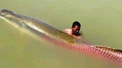 """Liên tiếp bắt được cá hải tượng """"khủng"""" trên sông Vàm Cỏ Đông"""