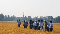 Trồng lúa sạch hướng hữu cơ, bán cho siêu thị lớn, giá cao hơn 40%