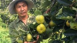 Làm giàu ở nông thôn: Trồng 1.000 gốc hồng giòn, thu nửa tỷ/năm