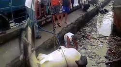 Philippines: Thảm cảnh cá mập voi nặng 2 tấn chết, ngập trong rác