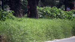 Clip: Đường Giảng Võ cỏ dại mọc um tùm quá đầu người, như bãi hoang