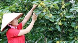 Vùng đất cây hồng trĩu quả, ăn ngon phải ngâm 3 ngày 4 đêm