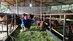 Khổ: Mua 5 con bò, nuôi 1 năm, chả lãi đồng nào còn lỗ 20 triệu