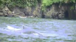 Video: Sốc với cảnh cá voi cụt gần nửa người bơi xuyên đại dương