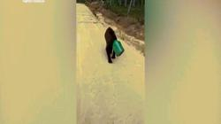 Video: Gấu kẹt đầu trong hộp, lang thang trên đường ở Nga