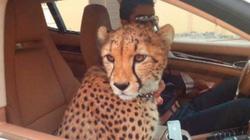 U23 VN - UAE: Kỳ lạ đất nước nuôi hổ báo như chó mèo của đối thủ