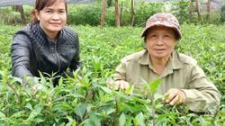 Sống khoẻ re nhờ trồng  loài rau rừng lúc nào cũng xanh tốt
