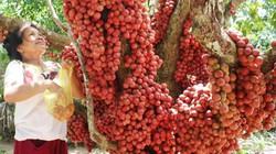 """Hàng chục gốc quả mọc từ thân đỏ rực tại Gia Lai """"hút khách"""""""