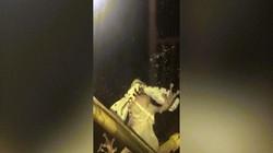 Video bướm đêm bị ếch nuốt chửng vẫn quằn quại chui ra