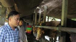 """Độc đáo: Xóm triệu phú nuôi bò """"Tây"""" to xác ở An Giang"""
