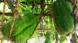 """Điều chưa biết ở làng trồng nếp đặc sản, bí đao """"khủng"""" 100kg/quả"""
