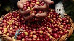 Giá nông sản hôm nay 10/9: Giá cà phê chưa thể vượt mốc 33.000 đồng/kg, giá tiêu đứng yên