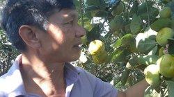 Lão nông xây lò sấy hồng giòn và ấp ủ đưa sản phẩm xuất ngoại