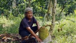 Ở miệt vườn, mỗi năm thu 75 tấn mít, lão nông này lãi 1,5 tỷ đồng