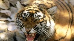 """Con hổ cái tinh khôn """"thích thịt người"""", hại chết 13 người ở Ấn Độ"""