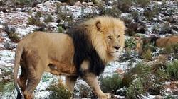 Huơu, voi, sư tử dạo bước trong tuyết phủ trắng ở... châu Phi