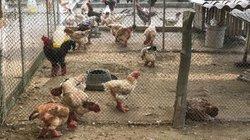"""Thu gần tỷ đồng/năm nhờ nuôi giống gà """"chân to"""" quý, hiếm"""