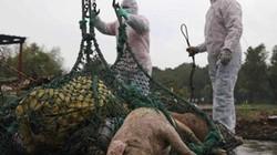Khẩn: Tạm dừng nhập khẩu thịt lợn và sản phẩm thịt lợn từ Hungary, Ba Lan