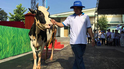 """Thỏa sức ngắm các """"quý bà"""" bò tại cuộc thi """"hoa hậu bò sữa"""" TP.HCM"""
