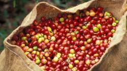 Giá nông sản hôm nay 15/9: Giá cà phê giảm liên tục, vẫn khó bán, giá tiêu không đổi