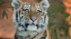 Hổ cái ăn thịt 13 người bị tòa Ấn Độ tuyên án