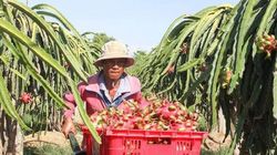 Giá thanh long Bình Thuận bất ngờ tăng mạnh nhờ... Trung thu