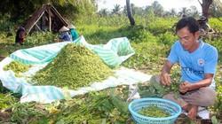Trồng đậu nành rau, bán quả xanh, nhanh có tiền