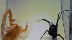 Góa phụ đen: Loài nhện tàn độc, kẻ xơi tái bạn tình