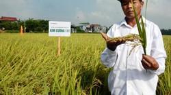 Giống lúa Kim cương 111: Nhiều đặc tính hay khiến nhà nông thích mê