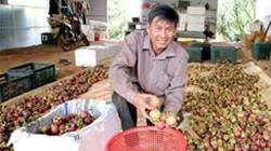 Trai Sài Gòn bỏ lên rừng trồng măng cụt bán sang Tây, thu 5 tỷ/năm