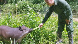 9X bỏ công chức về quê nuôi lợn thả vườn, bán chạy như tôm tươi