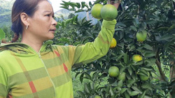 Hòa Bình: Đầu vụ cam Cao Phong 30.000 đồng/kg, được giá, dễ bán