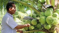 Độc đáo: Trồng giống dừa thơm mùi dứa, mỗi tháng có 20 triệu đồng