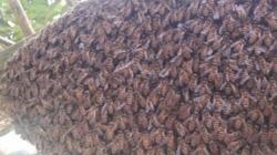 Bị ong khoái tấn công, 1 người tử vong và 1 người nguy kịch