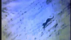 Báo săn mồi trên sườn núi hiểm, ngã xuống vực và đoạn kết ghê gớm