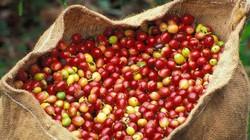 """Giá nông sản hôm nay 28/9: Giá cà phê tiếp tục tăng nhẹ 100 đồng/kg, giá tiêu giữ """"phong độ"""""""