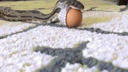 Cận cảnh rắn ngoạc mồm nuốt quả trứng to hơn mình