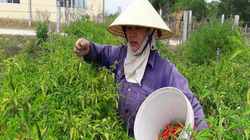 Hà Tĩnh: Ớt cay giá 70.000 đồng/kg, dân bỏ túi 30 triệu một sào