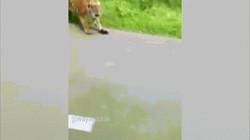 Video: Đang lái xe máy, sợ chết khiếp thấy hổ trong rừng xồ ra theo sát