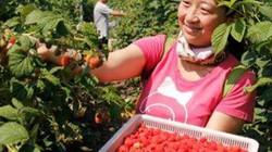 Chị nông dân trồng loại quả này, ngoảnh đi ngoảnh lại đã thành triệu phú