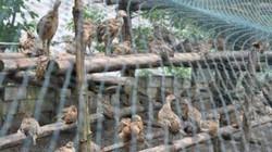 Tự thoát nghèo với thu nhập hàng trăm triệu từ việc nuôi gà trúc ngực xám